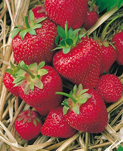 Erdbeere Korona®' - Fragaria x ananassa - mittelfrüh, ertragreich, leuchtendrot, groß, süße Früchte, sehr aromatisch