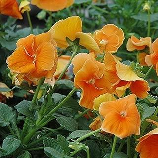 David's Garden Seeds Flower Pansy Swiss Giant Orange Sun SL8844 (Orange) 100 Non-GMO, Heirloom Seeds