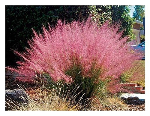 3 x Muhlenbergia capillaris 1 Liter (Ziergras/Gräser) Rosa Haargras BLICKFANG ab 3,19 € pro Stück