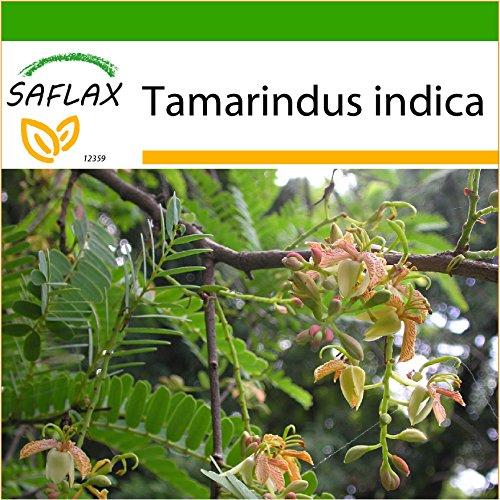 SAFLAX - Tamarinde/Indischer Dattelbaum - 4 Samen - Mit keimfreiem Anzuchtsubstrat - Tamarindus indica