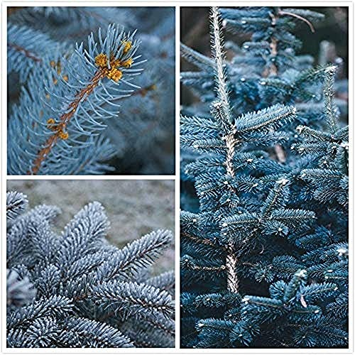 100 Piezas Semillas De Abeto Azul Para La Plantación De Jardines Al Aire Libre Perenne Heirloom Arbusto Semilla De árbol Embellecer El Medio Ambiente Tiene Valor Ornamental