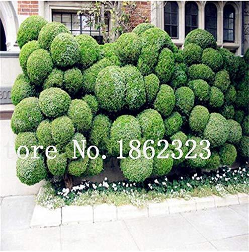 Shopmeeko Graines: 60 Pcs Rare coloré Juniper Bonsai Starter Arbre japonais -Juniperus PROCUMBENS & # 39; Nana & # 39; Plante en pot pour jardin Plante en pot: 12