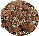 Lithops - Hybride 3 - Tuff lebende Steine - pflegeleichte Sukkulente - Granit Lithops