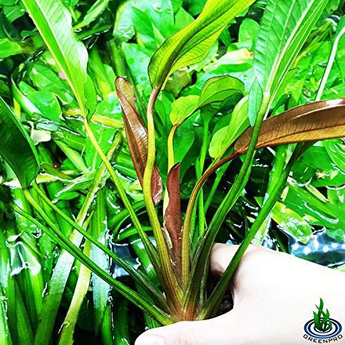 Greenpro Echinodorus Sp Red Diamond Amazon Sword Potted Tall Background Live Aquarium Plants Decoration Tropical Freshwater Fish Tank