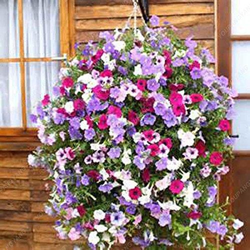 100 Semilla de 9 colores calibrachoa Orgánica Petunia semillas mezcladas 'petunia del jardín' Seed-Tierra flor muy hermosa milagro de la luz ámbar