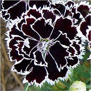 Flowers Seeds Dianthus heddewigii Black & White Seeds 25 Seeds