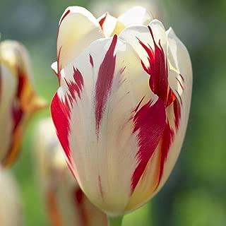10 Tulip BULBS Grand Perfection WB