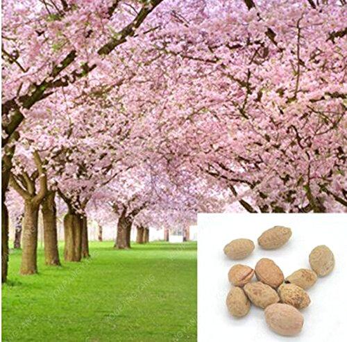1 paquet de 10 pièces rose arbre de fleurs de cerisier Sakura Graines Graines, cerise couleur Plantes Blooming Livraison gratuite