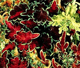 coleus carefree mix