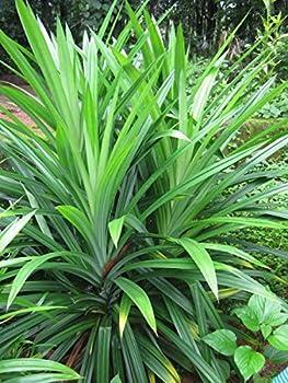 Pandanus Amaryllifolius Pandan Leaf Plant  Bai-Tooey  8-12 inches