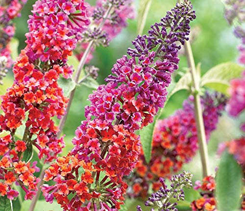 Buddleja Flower Power 25-30 cm Schmetterlingsflieder Sommerflieder - Fliederspeer
