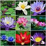 Ultrey Samenshop - 10 Stück Indische Lotusblumen Samen Wasserpflanzen Teich