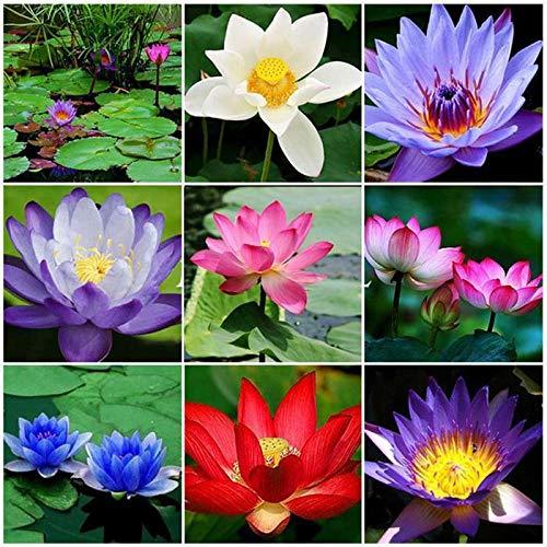 Ultrey Samenshop - 10 Stück Indische Lotusblumen Samen Wasserpflanzen Teich Zierpflanzen Lotus Blumensamen winterhart mehrjährig