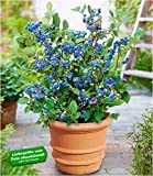 BALDUR Garten Topf-Heidelbeere Blaubeeren Heidelbeeren Pflanze, 1 Pflanze Vaccinium corymbosum reichtragend Heidelbeere für Töpfe und Kübel