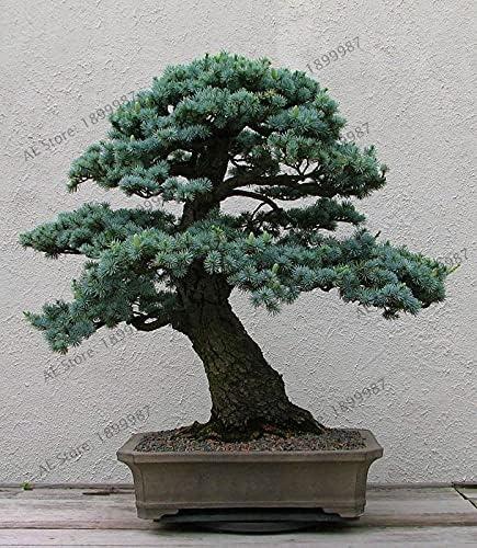 Kucus trust Bargain Genuine10PCS Sacred Japanese Cedar Seed Planta Plants Tree