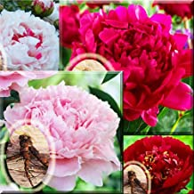 Pink Festiva Maxma Sarah Bernhardt Red Felix Crousse Peony paeonia 6