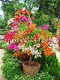 prime vista 50 piezas Bonsai de buganvilla, planta en maceta, flor de buganvilla, variedad completa, la tasa de florecimiento del 95%, para la plantación de jardín de su casa: 10