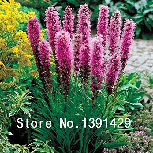 100pcs Liatris spicata graines de Rare cockscomb Flamingo (celosia spicata) Bonsai plantes, jardin fleurs ornementales. Couleurs mélangées