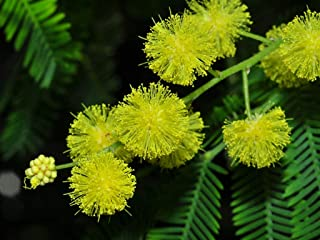 HOT - Silver Wattle - Yellow Mimosa - Acacia Dealbata - 40 Seeds - Tree Seeds