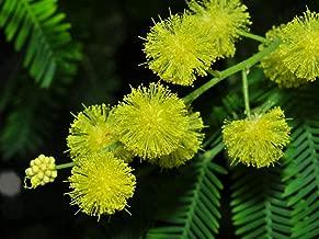 HOT - Silver Wattle - Yellow Mimosa - Acacia Dealbata - 40 Seeds - Tree Seeds