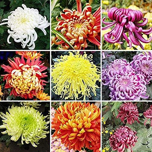 300Stücke Mix Chrysanthemen Samen Mehrjährige Erbstück-Blumen für das Pflanzen im Innenhof haben einen hohen Zierwert der leicht zu pflegen ist