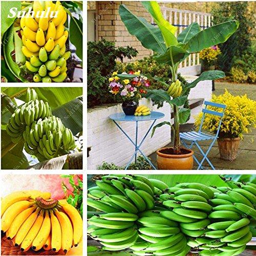 Envío libre 100 semillas de las PC mini plátano Semillas de frutas tropicales raras de plantas exóticas en maceta de Bonsai plátano Decoración Hogar y Jardín