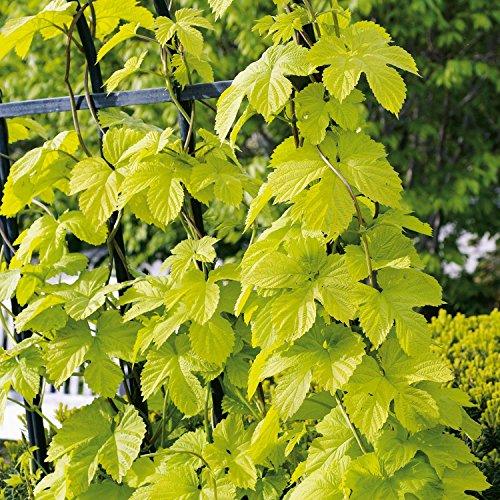 Echter Hopfen 'Hallertauer Tradition' - Humulus lupulus - Winterharte Kletterpflanze - Containerpflanze - Top Qualität von Garten Schlüter