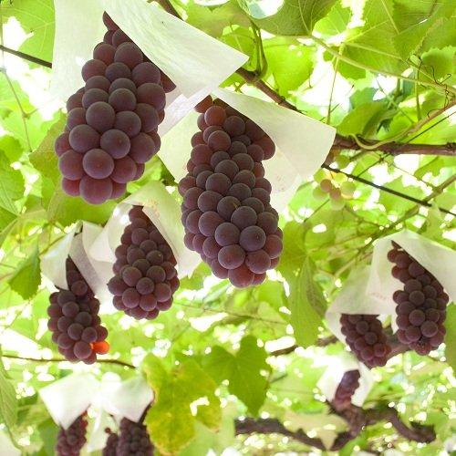 (1.5kg箱) デラウェア 種なしで甘い お子様からご年配の方まで大人気の山梨県産葡萄