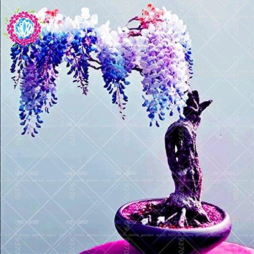 10pcs graines de glycines rares japonais fleur rouge Wisteria Bonsai Graines Mini Bonsaï plantes ornementales d'intérieur pour la décoration de la maison