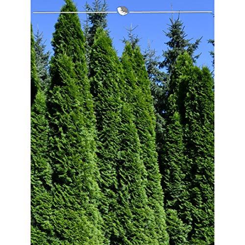 Lebensbaum Thuja Smaragd 80-100 cm. Angebot: 10-150 Koniferen. Thuja occidentalis Smaragd. Winterhart und Pflegeleicht. Immergrüne Heckenpflanzen. Schnellwachsende Sichtschutz Hecke | Inkl. Versand