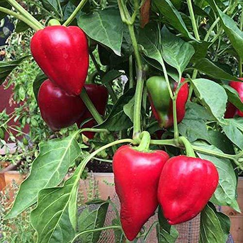 SEEDVALLEY Pimienta Pimiento morrón L - Vegetable Seeds