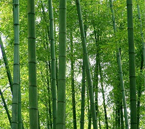 100 graines de frais Moso bambou Graines Phyllostachys pubescens géant en bambou - Hardy