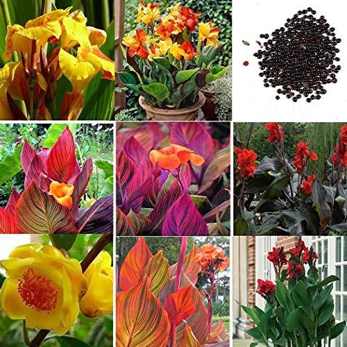 Vavrica Samen 100 Stück Canna Liberte Indisches Blumenrohr 'Canna Indica' Exotische Blumensamen Winterharte Staude für Gartenbalkon/Terrasse