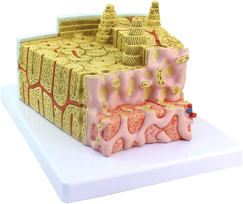 ALBB Bone Structure Model supreme Microscopic Anatomical Exercise Tucson Mall