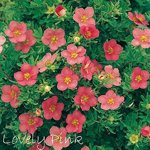 Fingerstrauch 'Lovely Pink' – Potentilla – Dasiphora fruticose Strauch mit rosa-pinken Blüten als Hecke oder in Einzelstellung - Dauerblüher von Garten Schlüter - Pflanzen in Top Qualität