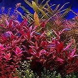 HOT! Alternanthera Lilacina Bunch BUY2GET1...