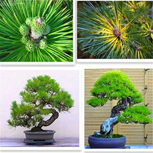 Cinco hojas Semillas de árbol de pino en maceta paisaje japonés de cinco agujas de pino de Bonsai Miniascape Semillas 10PCS