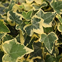 Thompson /& Morgan Hardy Evergreen Climber Ivy Shrub Hedera Helix /'Goldchild/' Potted Garden Plants Ideal for Cottage Gardens Walls Patio and Containers Fences 1 x 3 Litre Pot
