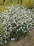 Just Seed Britische Wildblume Mehr burnet-saxifage Gro e Bibernelle 2000 Samen