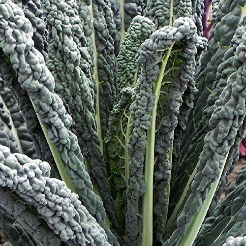 Black Magic Kale - 100 graines