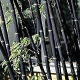 XQxiqi689sy Phyllostachys Pubescens Semillas de Bambú Familiar Plantas de Jardín Decorativas Decorativas Semillas de Bambú Negro