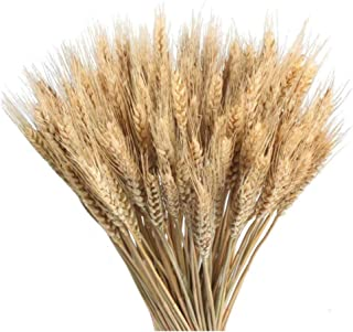100 piezas de trigo seco Ramo de hierba Trigo natural