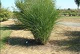 10 graines de Miscanthus sinensis Gracillimus MAIDEN Graines GRASS