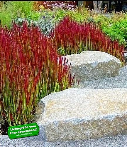 BALDUR-Garten Ziergras 'Red Baron' Japanisches Blutgras Flammengras, 3 Pflanzen Imperata cylindrica winterhart Garten-Ziergräser