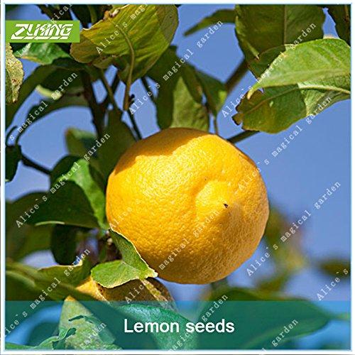 ZLKING 20 Pcs chinois citron Arbres fruitiers Graines Bonsai frais non OGM santé bio pour jus de fruits épices végétales