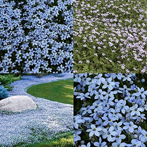 300 Stück blauen Fuß Gras Bonsai Bodendecker Pflanzen Blue Star Creeper Heiße Startseite Rasen Wildflower Outdoor-Garten Yard: 300
