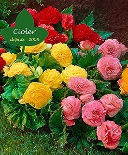 CIOLER Seed House - Raras Semilla Mixta Begonia 'Non Stop' planta de interior Semillas De Flor Hortícolas Plantas Raras perennes Patio, cestas colgantes o jardineras
