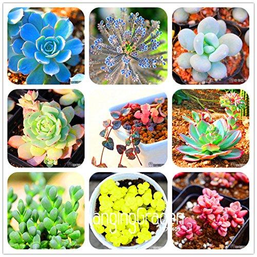 100 Mix Couleur Bougainvillea Balcon pot, cour bonsaï fleur plante extrêmement voyantes, plante rustique florifère