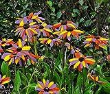 Rare 200 Pcs Black Susan (Rudbeckia Hirta)Flower Seeds Non-GMO