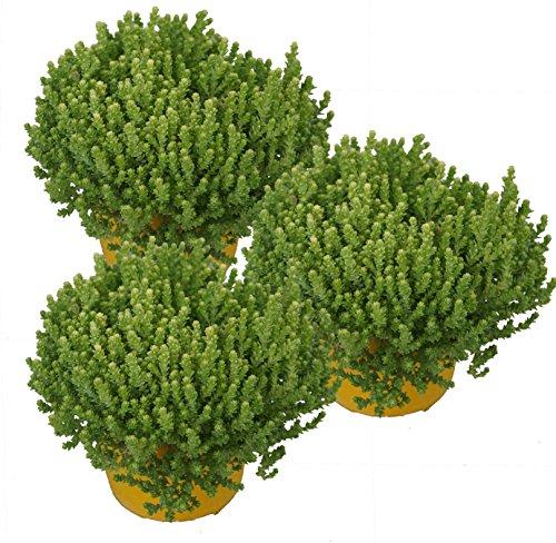 drei Pflanzen Mauerpfeffer (Sedum acre) gelb